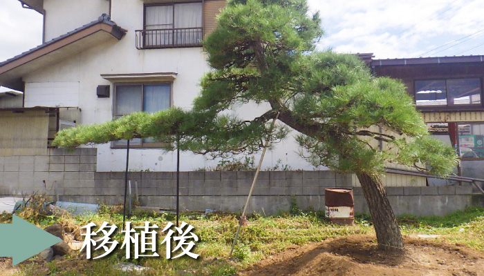 松の木 移植後