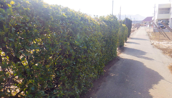 剪定後の街路樹